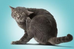 Cara Hilangkan Kutu Kucing!!